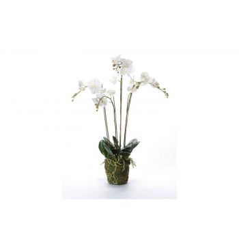 Cosy @ Home Phalaenopsis With Moss White 10x10xh90cm